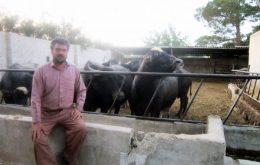پرورش گاومیش در نجف آباد